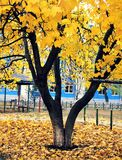 A árvore com amarelo sae no outono na cidade Fotografia de Stock