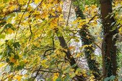 Árvore com as folhas do amarelo no outono Foto de Stock