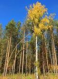 Árvore com as folhas do amarelo sob o céu azul fotografia de stock royalty free