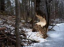 Árvore com as marcas dos dentes do castor foto de stock