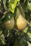 Árvore com as peras verdes frescas Fotos de Stock Royalty Free