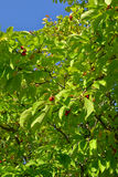 Árvore com bagas Imagens de Stock Royalty Free