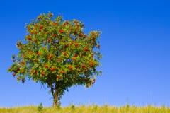 Árvore com bagas vermelhas Fotografia de Stock Royalty Free