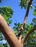 Árvore com céus azuis Imagem de Stock Royalty Free