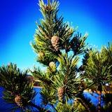 A árvore com cones do pinho estende para o céu fotos de stock