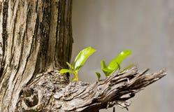 Árvore com crescimento novo da folha Fotos de Stock Royalty Free