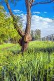 Árvore com dois grandes alvos de madeira Fotografia de Stock Royalty Free