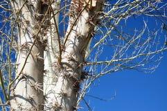 Árvore com espinhos imagem de stock