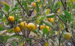 A árvore com fruto do mandarino gravou no filme do vintage fotos de stock