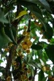 Árvore com frutos do ramiflora do baccaurea da uva do birma fotos de stock royalty free