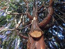 Árvore com membro separado Fotografia de Stock