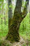 árvore com musgo em raizes em uma floresta verde ou musgo no tronco de árvore Casca de árvore com musgo verde Foto de Stock