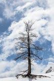 Árvore com neve na borda do penhasco, céu nebuloso atrás Imagem de Stock