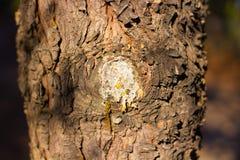 árvore com o ascendente próximo de fluxo da resina imagem de stock royalty free