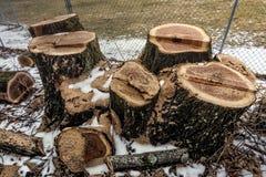 Árvore com os troncos do corte do múltiplo imagem de stock
