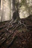 Árvore com raizes em uma floresta misteriosa encantado Imagem de Stock Royalty Free
