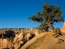 Árvore com raizes expor Foto de Stock