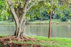 Árvore com raizes fora da terra na frente do lago Igapo Fotos de Stock Royalty Free