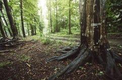 Árvore com raizes gigantes na floresta verde do verão Foto de Stock