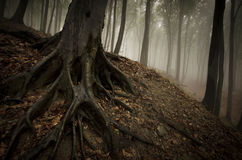 Árvore com raizes grandes no solo da floresta Imagens de Stock Royalty Free