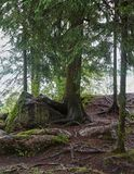 Árvore com raizes na pedra Foto de Stock Royalty Free