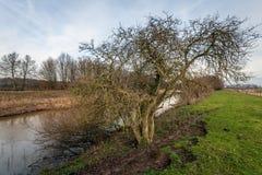 Árvore com um emaranhado de ramos desencapados no banco de um rio pequeno imagem de stock