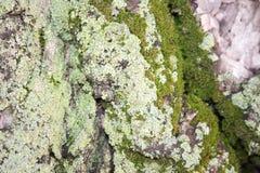 Árvore com verde de musgo Fotografia de Stock Royalty Free