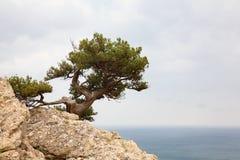 Árvore conífera fotos de stock