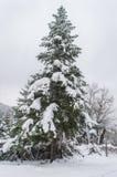 Árvore conífera Fotografia de Stock