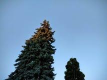 Árvore conífera do por do sol Fotografia de Stock