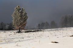Árvore conífera em um fundo de um campo do inverno Imagem de Stock
