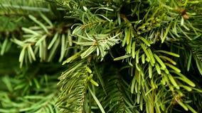 A árvore conífera gerencie filme