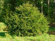 Árvore conífera verde Imagem de Stock