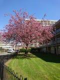 Árvore cor-de-rosa fotos de stock