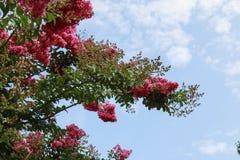 Árvore cor-de-rosa brilhante de Myrtle Flowering do crepe na flor fotos de stock