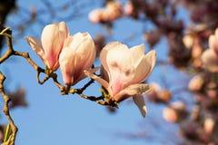 Árvore cor-de-rosa da magnólia com o céu azul brilhante Fotografia de Stock Royalty Free
