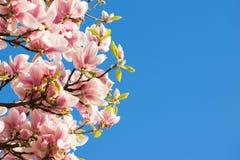 Árvore cor-de-rosa da magnólia com o céu azul brilhante Imagens de Stock Royalty Free