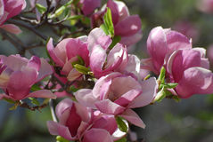 Árvore cor-de-rosa de florescência da magnólia na mola adiantada fotos de stock