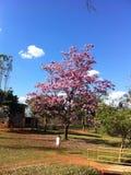 Árvore cor-de-rosa do ipe Fotografia de Stock Royalty Free
