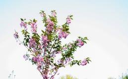 Árvore cor-de-rosa do Lavatera na parte dianteira de uma casa em INGLATERRA Imagens de Stock