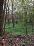 Árvore cor-de-rosa em uma floresta imagem de stock royalty free