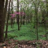Árvore cor-de-rosa em uma floresta imagens de stock royalty free