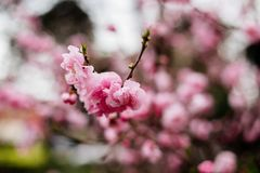 Árvore cor-de-rosa de florescência foto de stock