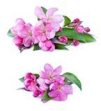 A árvore cor-de-rosa floresce a flor no fundo branco Imagens de Stock