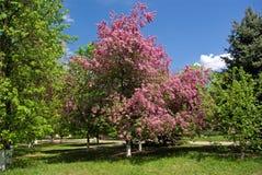 Árvore cor-de-rosa no parque Fotografia de Stock Royalty Free