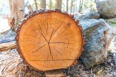 Árvore cortada na madeira Imagens de Stock Royalty Free