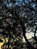 Árvore crepuscular da silhueta imagem de stock