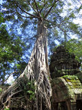 A árvore cresce sobre o templo de Angkor Wat do local do patrimônio mundial do UNESCO fora de Siem Reap Camboja Foto de Stock