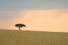 Árvore da acácia Imagens de Stock