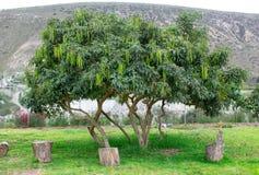 Árvore da acácia com os feijões nas montanhas imagens de stock royalty free